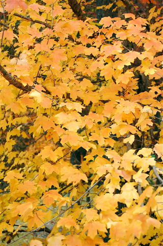 Yellow Leaves 4