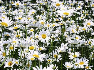 Field_of_daisies_full