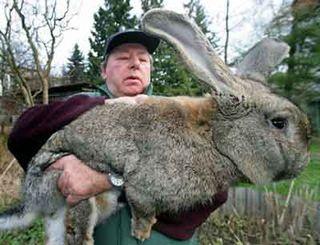 Giant-rabbit2