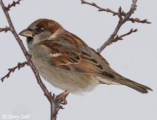 House_sparrow_1