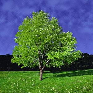 Spring_tree_fg