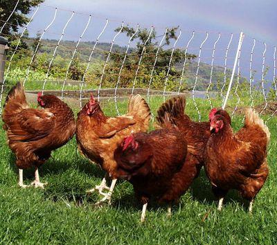 Preening_chickens_lg