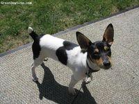Toy Fox Terrier-watermarked-1236371592
