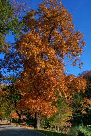 Mockernut-Hickory-P0007407
