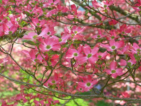 Pink-dogwood-flower-tree
