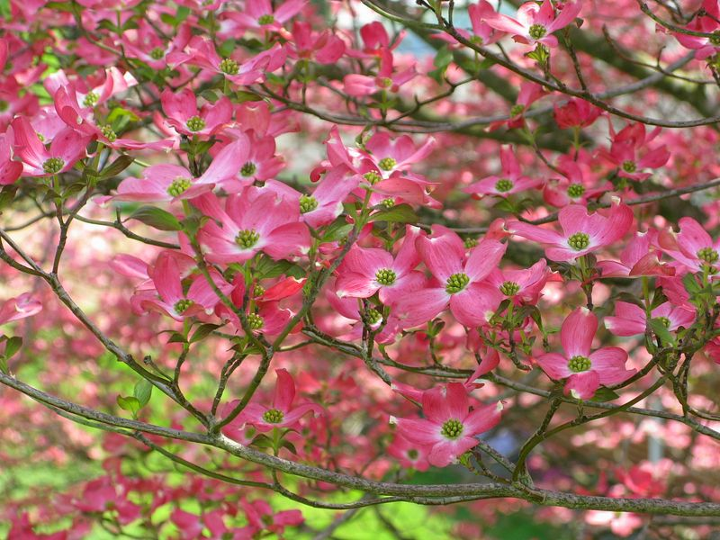 Pink-dogwood-flower-tree