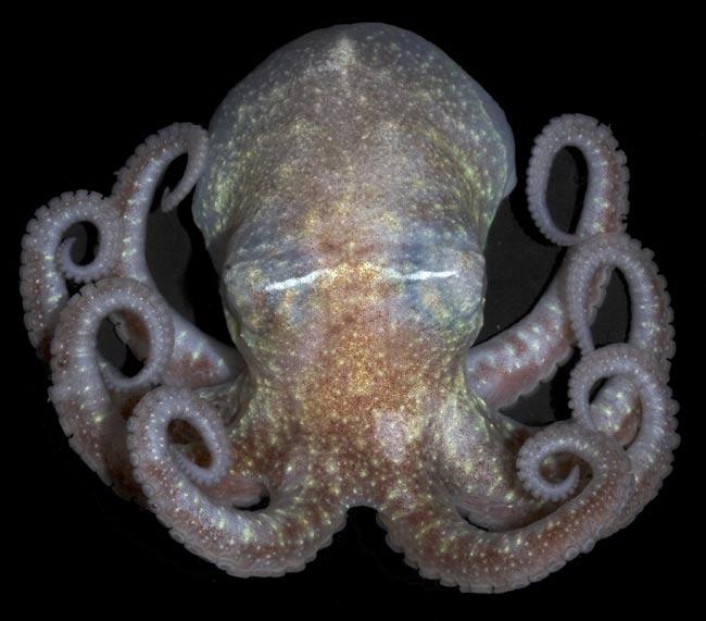 070225_antarctic_octopus_021
