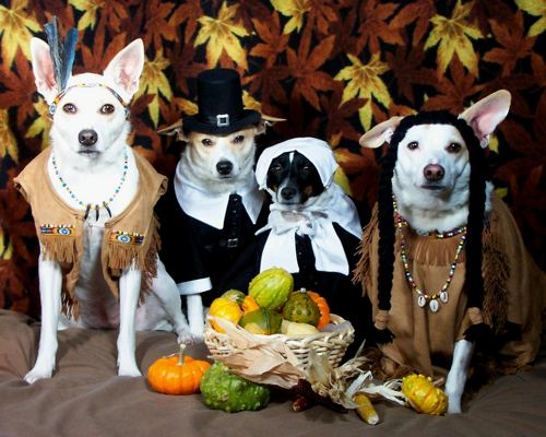 Happy-thanksgiving-dressed up chihuahuas