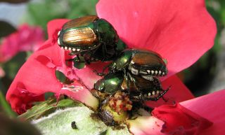 Japanese-Beetles