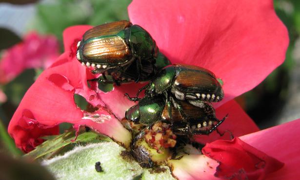 Japanese-Beetles