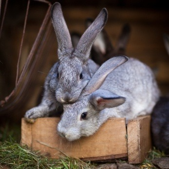 Rabbits-two-outside-hutch