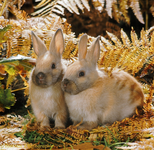 35169-Madagascan-Dwarf-rabbits-among-autumn-Bracken